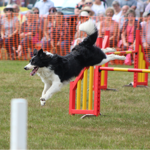 Image of dog jumping
